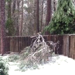 amys damaged tree fallen inyard